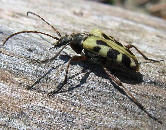 Beetle - Evodinus monticola