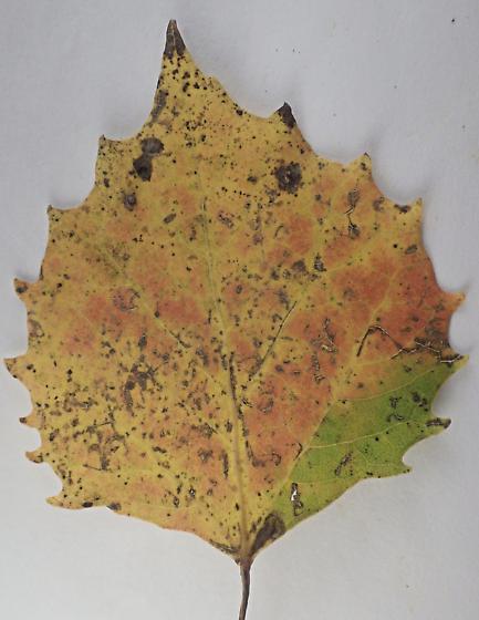 0039 Ectoedemia argyropeza on Populus grandidentata - Ectoedemia argyropeza