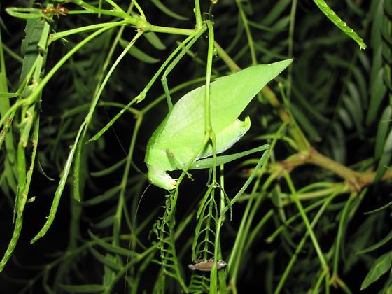M. minus or M. rhombifolium - Microcentrum - female