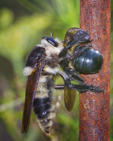 Family Asilidae - Robber Flies, ID please - Mallophora bomboides