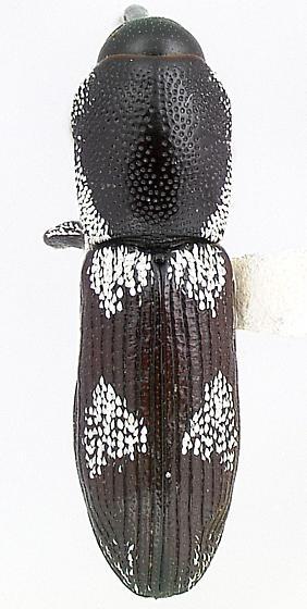 Lipancylus copelatus Prena - Lipancylus copelatus