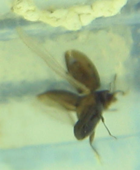 tiny corylophid - Orthoperus scutellaris