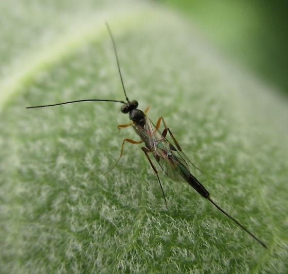 Small Milkweed Wasp - female