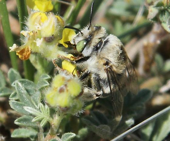 bee, small, fuzzy, gray, green-eyed - Anthophora walshii