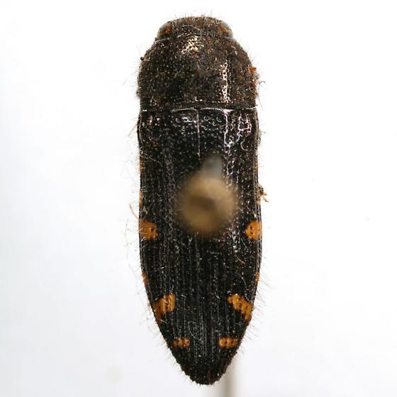 Acmaeodera wenzeli Van Dyke - Acmaeodera wenzeli