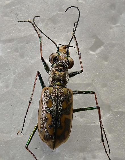 Tiger - Ellipsoptera cuprascens