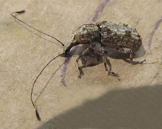 Anthribidae - Ischnocerus infuscatus - male