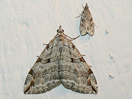 Treble-bar Moth - Aplocera plagiata - Hodges #7627  - Aplocera plagiata
