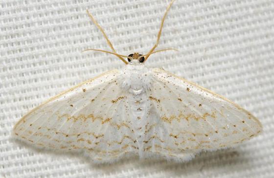 white moth with yellow line - Idaea tacturata