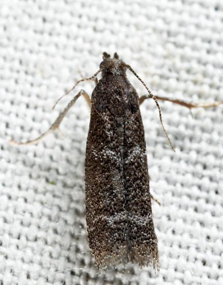 Cabnia myronella