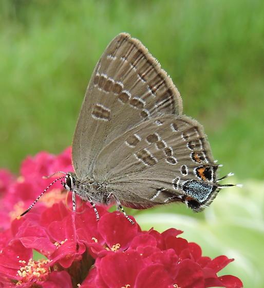 Banded Hairstreak Butterfly - Satyrium calanus