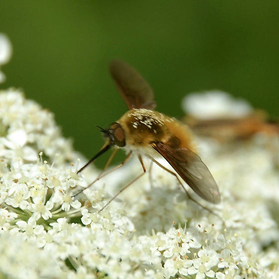 Bee fly on Queen Anne's Lace