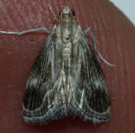 Micro Moth - Frechinia helianthiales