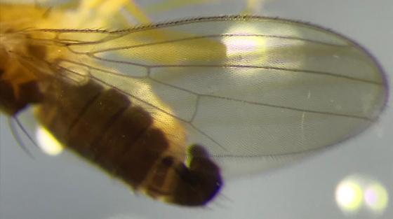 Mystery Fly - Anthomyza oblonga - male