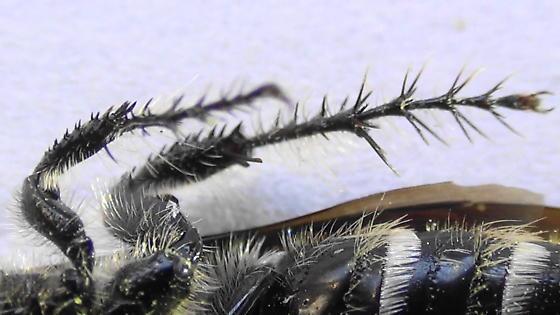 Grub-lover (legs) - Campsomeris tolteca - female