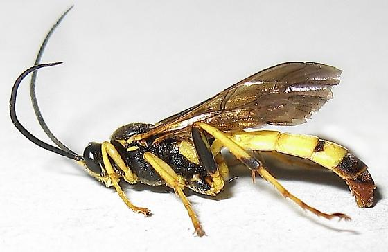 Ichneumon Wasp - male