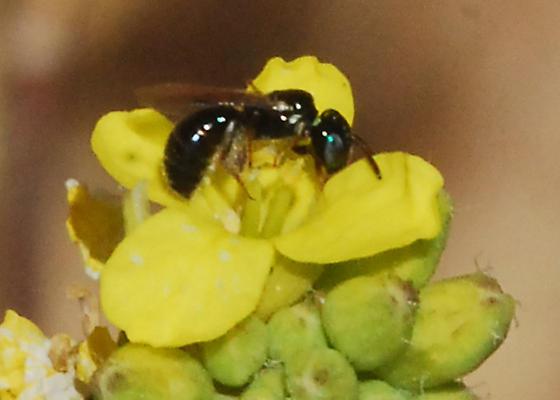 Bees on tiny flowers: #4 - Ceratina arizonensis