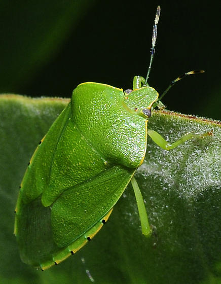 Chinavia hilaris - Green Stink Bug - Chinavia hilaris