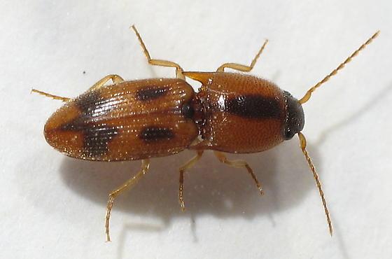 Click Beetle - Aeolus mellillus