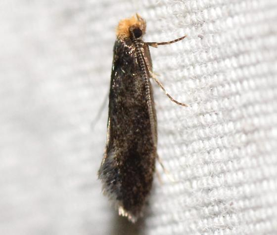 Doleromorpha porphyria, 0276 - Doleromorpha porphyria