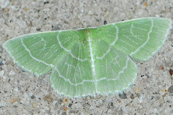 Wavy-lined Emerald Moth - Synchlora aerata