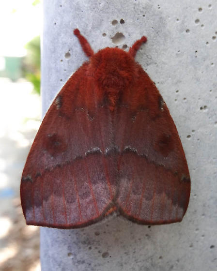 Io Moth - Automeris io - female