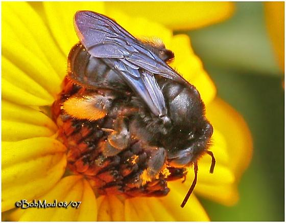Bee - Melissodes bimaculatus - female