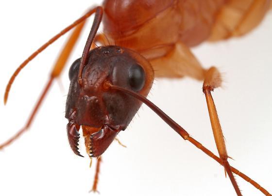 Camponotus? - Camponotus festinatus