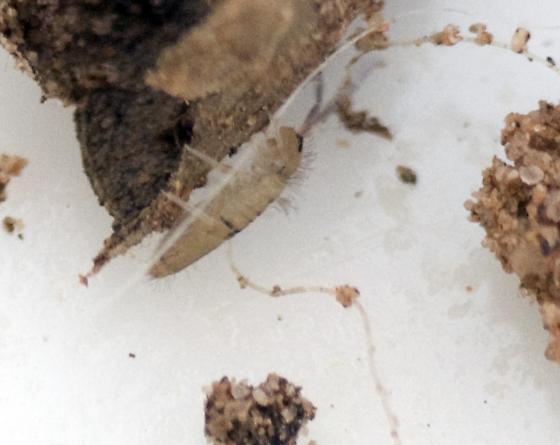 Entomobryidae? - Entomobrya unostrigata