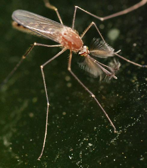 white-dotted mosquito - Culex restuans - male