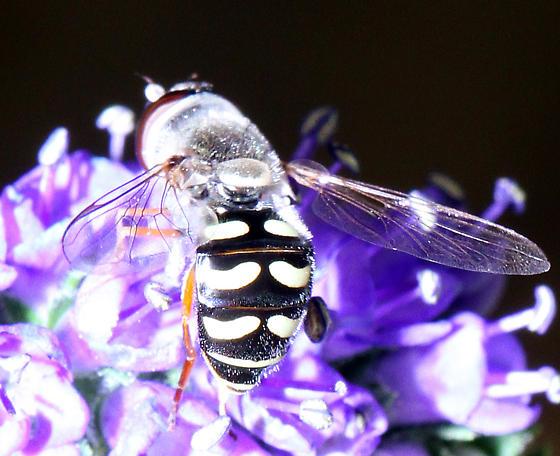 unidentified Syrphidae - Eupeodes volucris