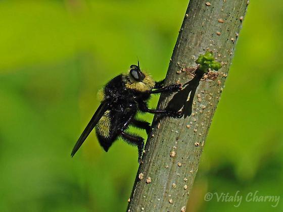 Robber Fly / Mallophora orcina - Mallophora orcina