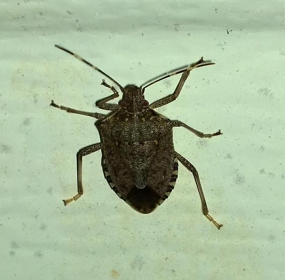 Unknown stink bug - Halyomorpha halys