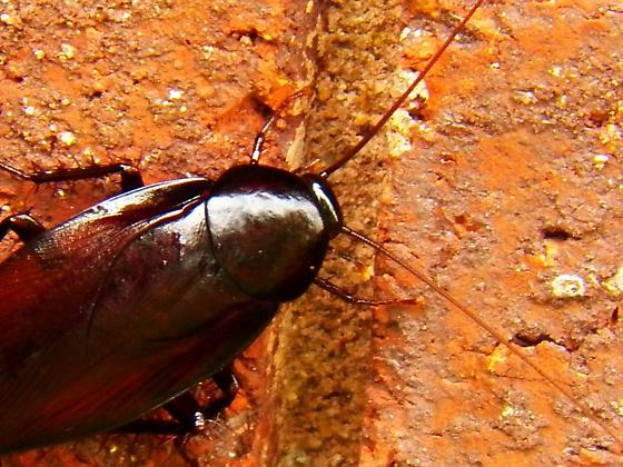 Large Roach - Periplaneta fuliginosa