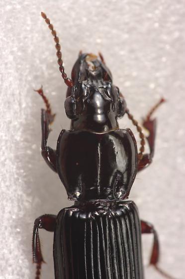 Ground Beetle - Morion monilicornis