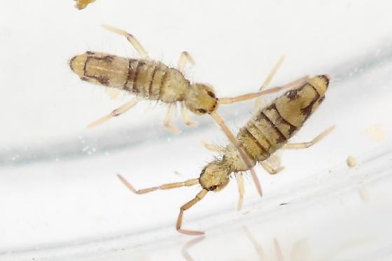 Springtail - Entomobrya nivalis