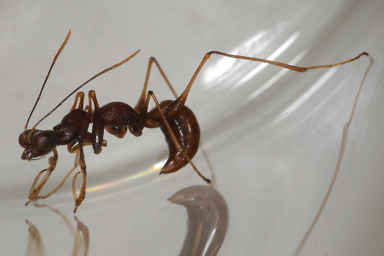 Ant-mimicking Pincher Wasp