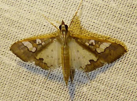 Maruca vitrata – Bean Pod Borer Moth - Maruca vitrata