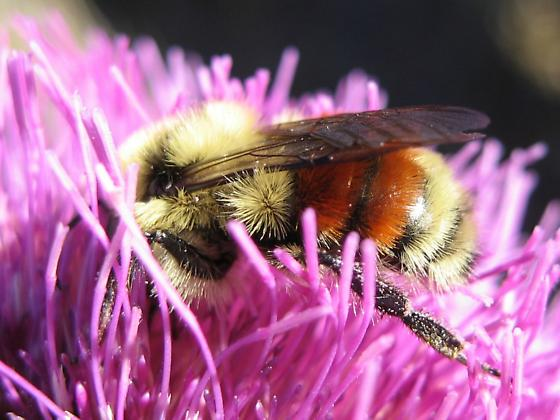 Hunt's Bumble Bee - Bombus huntii - male