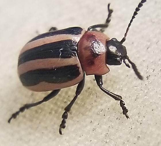Small Striped Beetle - Calligrapha californica