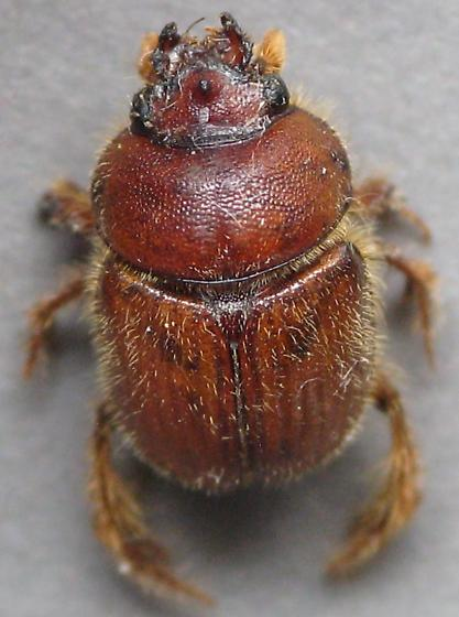 Ochodaeidae? - Cucochodaeus sparsus