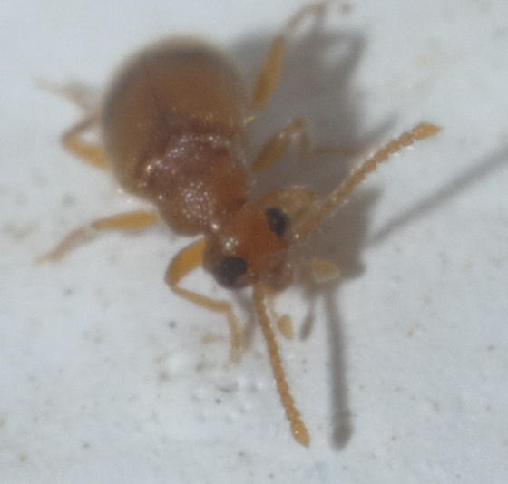 Small, brown, hairy beetle  - Zonantes