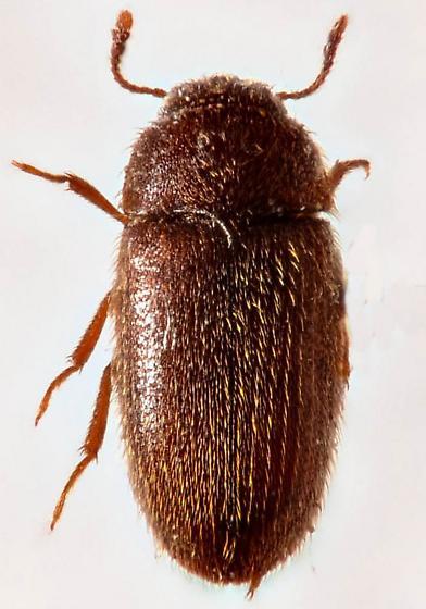 Fungus Beetle? - Typhaea stercorea