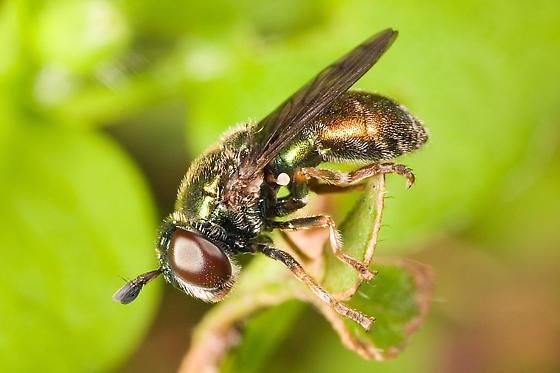 fly - Laetodon laetus