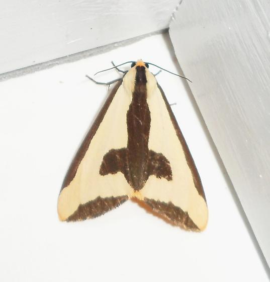 Clymene Moth - Haploa clymene