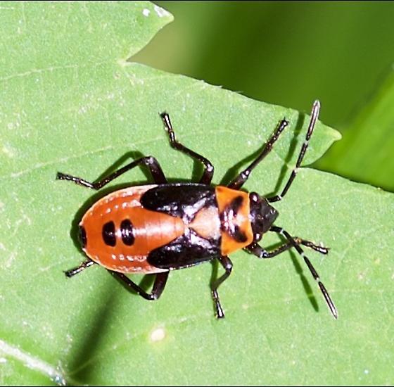 red and black beetle - Lygaeus turcicus