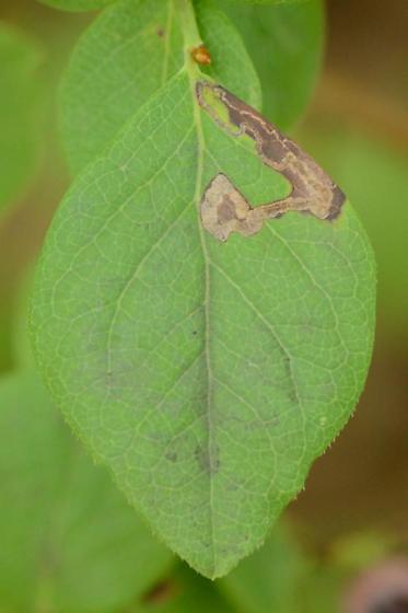 Blueberry leaf mine - Stigmella corylifoliella