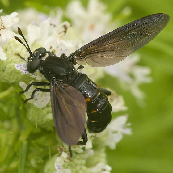 Diptera-ID please