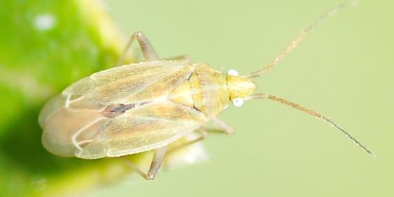 Pale plant bug - Amblytylus nasutus