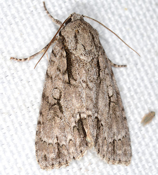 Acronicta hasta - Speared Dagger Moth - Acronicta hasta